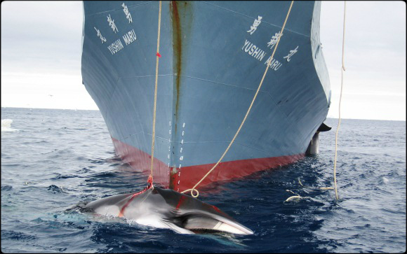 2014.04.01 - UN Court Halts Japan's Antarctic Whaling